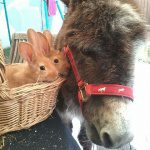 Lapin et Anesse